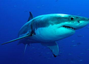 El regreso del gran tiburón blanco a Baleares